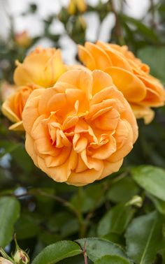 Scented roses: 'Perfect Pet', a floribunda rose, will flower repeatedly from…