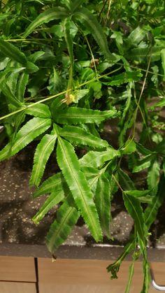 Pteris Tabletop Fern Kate Field Tropical Foliage Plants