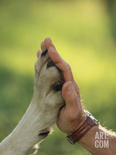 Jim Dutcher Places His Hand to the Paw of a Gray Wolf, Canis Lupus Photographic Print by Jim And Jamie Dutcher at Art.com