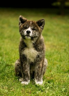 """Click visit site and Check out Hot """"Akita Dog"""" T-Shirts & Hoodies. This website is top-notch.  Tip: You can type """"your first name"""" or """"your favorite shirts""""  by using search bar on the header.   #akita"""