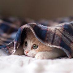 gatto coperta