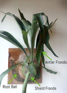 So easy to care for! Just mist with water once a week. Beautiful wall plant decor.