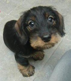 Wire hair dachshund puppy - Ollie with a beard