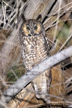 Long-eared Owl (Asio otus). Photo by Rick & Nora Bowers.