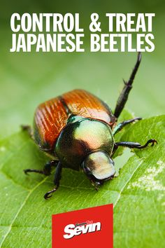 Japanese beetles are a particularly destructive pest. Learn how to identify, treat and prevent their damage.