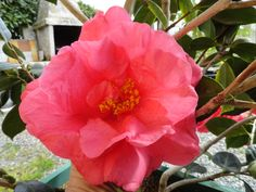 gros plan sur fleur de camélia