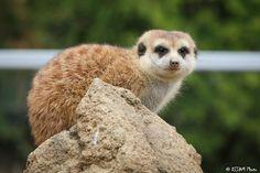 https://flic.kr/p/FN3pw2 | Cincinnati Zoo 3-28-16-0951 | Meerkat