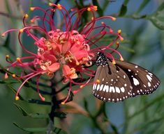 How to attract butterflies in your garden - Whether a butterfly decides to stay a while in your garden depends on how butterfly-friendly it is. Attracting beautiful butterflies to your garden is easy! Australian Native Flowers, Australian Plants, Australian Garden, Beautiful Butterflies, Amazing Flowers, Kangaroo Paw Plant, Plants That Attract Butterflies, Flowers Australia, Tropical