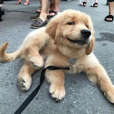 "67.2k Likes, 869 Comments - Golden Retrievers (@goldenretrievers) on Instagram: ""10 Cheeky Smirks  Follow them @goldendaysofollie @goldenleia @ellathegoldengirl…"""
