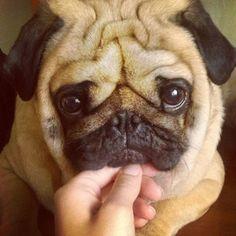 Ce carlin au regard craquant. | Les 18 chiens les plus adorables d'Instagram