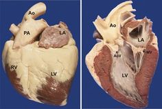 The Equine Heart: Power Plant Unequaled - TheHorse.com | Learn about the equine heart and some conditions most often encountered by equine cardiologists. #AmericanHeartMonth #horsehealth
