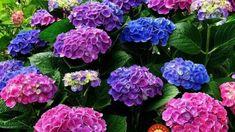 Ako zmeniť farbu na kvetoch hortenzie?