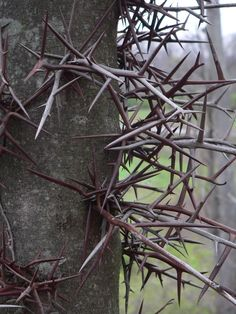 Thorn bearing bushes, especially when planted around windows, can be a nightmare to get caught up in.  Just one brush against certain thorn bushes can be enough to send a thief packing.  That is un...