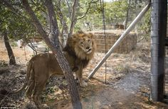 The lion enclosures are set in a clearing among natural bush and veld, each with trees, rocks, a hay bale and water filled troughs