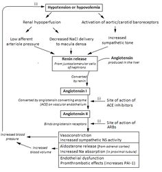 renin-angiotensin-aldosterone-system-and-its-clinical-effects.png (488×520)