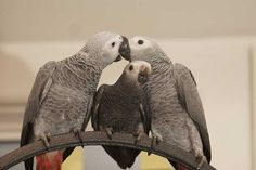 There are two types of parrots for the African Grey Parrots – the Congo grey and the Timneh grey Parrots.