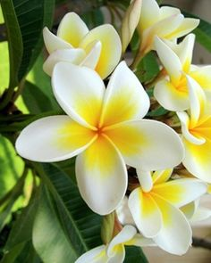 The most beautiful type of flower. It was love at first sight for me!  'Ombre' plumeria.
