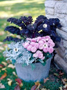 {Fall Container Gardens} Go Bold with Color  Reds, oranges, browns, and yellows fill the fall landscape. Add color and contrast with pink, blue, or silver flowering container plantings!  A. Pink mum (Chrysanthemum 'Soft Cheryl') -- 1  B. Dusty miller (Senecio cineraria) -- 3  C. Purple kale (Brassica 'Redbor') -- 1