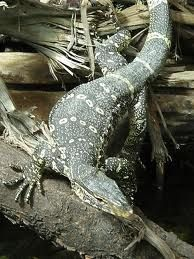 Nile Monitors - sweet babies...