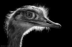 Pucker Up – Dramatic Black and White Animal Photography by Wolf Ademeit