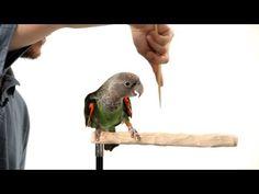 How to Target Train Your Parrot Diy Parrot Toys, Parrot Pet, Timneh African Grey, African Grey Parrot, Cockatiel, Budgies, Parrots, Parrot Facts, Bird Toys