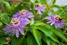 🍹 Eat and Drink Your Passion Flower! Passion Flower, Remedies, Herbs, Drinks, Eat, Flowers, Plants, Drinking, Beverages