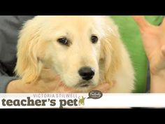 Familiarizing Your Puppy to Touch | Teacher's Pet With Victoria Stilwell