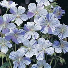 Geranium pratense 'Splish Splash'........looks amazing planted with Alchemilla mollis with a formal buxus hedge.