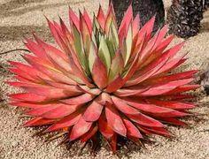 20 sementes suculenta agave mix cactos flor p/ mudas planta