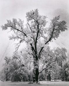 Oak Tree, Snowstorm - Ansel Adams