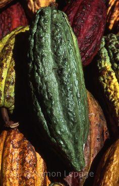 Cacao pods, Venezuela   Ramón Lepage / Orinoquiaphoto