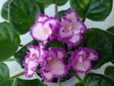 African Violet: Saintpaulia ionantha 'Lyon's Pirates Treasure' [Family…