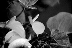 #blackandwhitephotography: Talvipuutarhassa, ja Töölönlahdella mustavalkoisissa valokuvissa. Orangerie of Helsinki in black and white photography: Rocky Horror, Winter Garden, Helsinki, Black And White Photography, Plant Leaves, Artwork, Plants, Black White Photography, Work Of Art