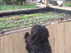 Hagyomány vs. magaságyás a konyhakertben Herbs, Vegetables, Green, Gardening, Garten, Herb, Vegetable Recipes, Lawn And Garden, Horticulture