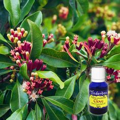 Clove Bud Essential Oil (Syzygium aromaticum) for aromatherapy, skin care and natural perfumes. Tinderbox: supplying pure essential oils since Clove Essential Oil, Pure Essential Oils, Blue Glass Bottles, Clove Bud, Clary Sage, Raw Materials, Herbalism, Essentials, Perfume