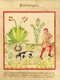 """""""La mandragore"""", d'après le """"Tacuinum sanitatis"""" - Italie - vers 1400  Format 24 x 29 cm  La mandragore, plante des sorcières... En raison de son fort pouvoir hallucinogène et de la forme de la racine, bifide et ressemblant à une silhouette humaine, on lui attribua des pouvoirs magiques. On prétendait qu'elle pousse un cri d'agonie quand on l'arrache, cri qui rend fou celui qui l'entend. D'où le stratagème illustré par cette miniature : un chien dressé est attaché à la plante - il…"""