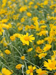 Four-nerve Daisy  Heat and drought tolerant perennial will thrive in any native garden.      Full sun      Perennial      Grows 8 inches tall and 12 inches wide      Blooms bright yellow flowers Spring through Fall      Use in rock gardens, as colorful edging or mass plantings