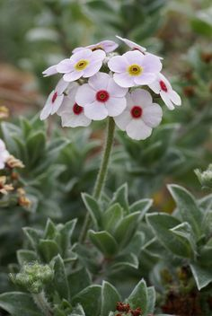 Primula 'Woolly Rock Jasmine' - is this white enough to qualify for my white garden? Alpine Garden, Alpine Plants, Amazing Flowers, White Flowers, Beautiful Flowers, Beautiful Gorgeous, Rockery Garden, Garden Plants, Gardening Vegetables