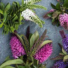 HEBE of STRUIKVERONICA bloeit tot in oktober kan in potten trekt vlinders aan