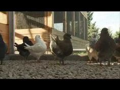 """""""Legyen galambod az udvarban -- legyen galambleves a tányérodban!"""" -- húsgalambok, a hazai húsgalambtenyésztés és tartás újjászervezésének és megújításának p..."""