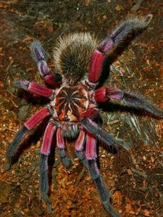 Tarantula Habitat, Pet Tarantula, Tarantula Enclosure, Weird Insects, Bugs And Insects, Beautiful Creatures, Animals Beautiful, Spider Species, Creepy Animals