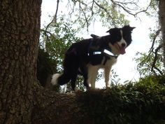 Every tree she see's ...Think she has to climb it...My Kassie loves climbing trees