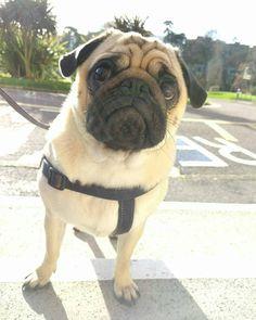 Reposted from @arniespuglife  #pugs #pugsofinstagram #pugstagram #pugsproud #whitepug  TAG A FRIEND  by pugsproud