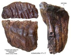 COLUMBIAN mammoth tooth - TEETH & JAWS - Gallery - The Fossil Forum  :: The roots, that is, the lower portion of the enamel plates are pinched together, probably as a result of some jaw deformity.
