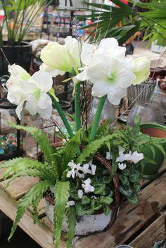 1000 Images About Amaryllis Garden On Pinterest