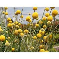 Craspedia globosa 'Billy Buttons'/ gele trommelstok/eenjarig/droogboeketten