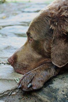 Man's best friend. Chesapeake Bay Retriever. I love my Chessie to death