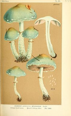 """"""" Illustrations of British Fungi (Hymenomycetes), to serve as an atlas to the Handbook of British Fungi By Cooke, Mordecai Cubitt, Publication info LondonWilliams and BHL. Botanical Drawings, Botanical Illustration, Botanical Prints, Illustration Art, Mushroom Art, Mushroom Fungi, Mushroom Drawing, Historia Natural, Stuffed Mushrooms"""