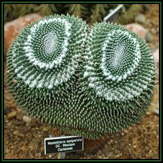 Seeds - Mammillaria sempervivi - 10 Seed Pack - Verified Seller - Exotic Succulent Cactus - NEW was listed for R8.50 on 17 Apr at 18:46 by Seeds and All in Port Elizabeth (ID:93511463)