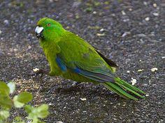 Antipodes Parakeet